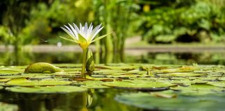 Build pond water lily 324x160 - Home