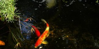 Koi in pond