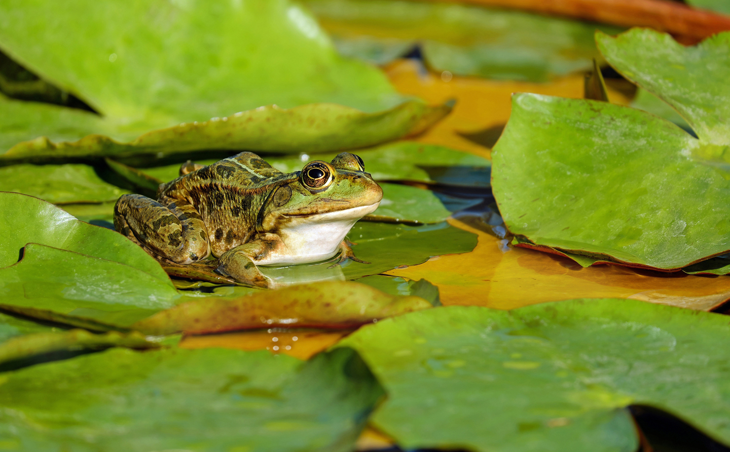 frog on lily pads - Create a Koi Garden