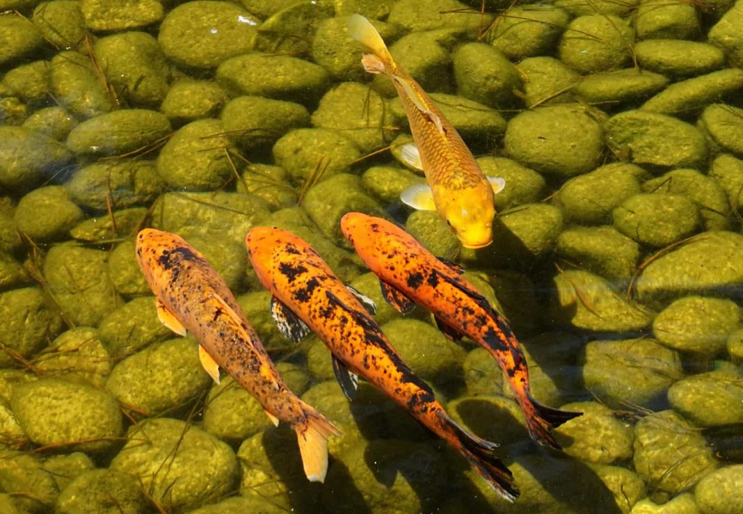 koi pond pumps to clean water