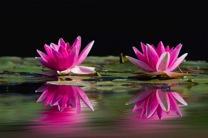 water in pond with lilies