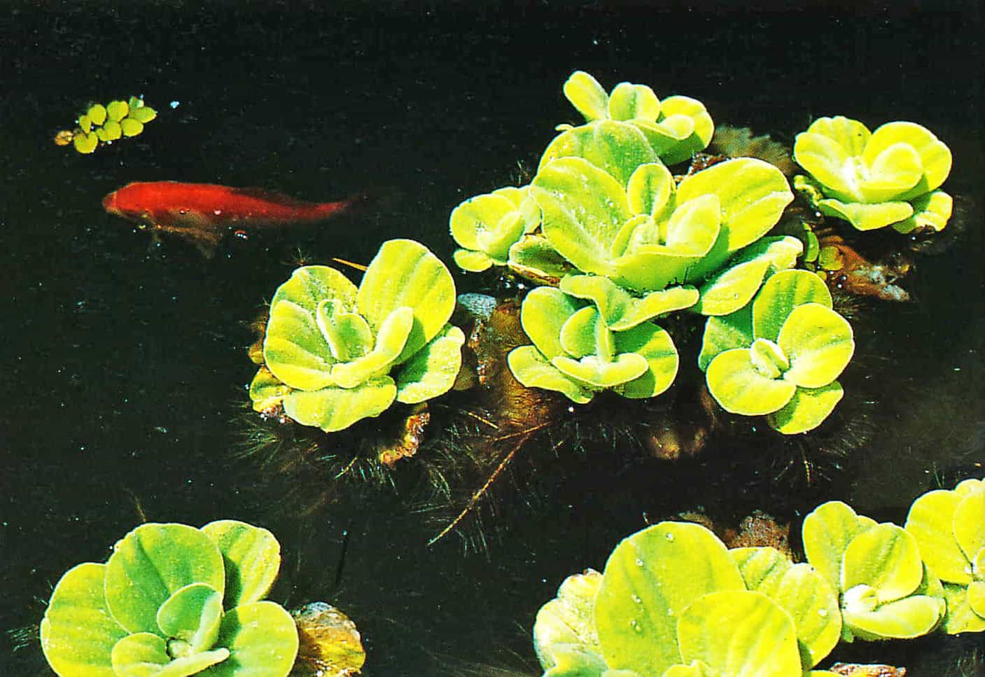 13 water lettuce - How To Finish Off Your Pond