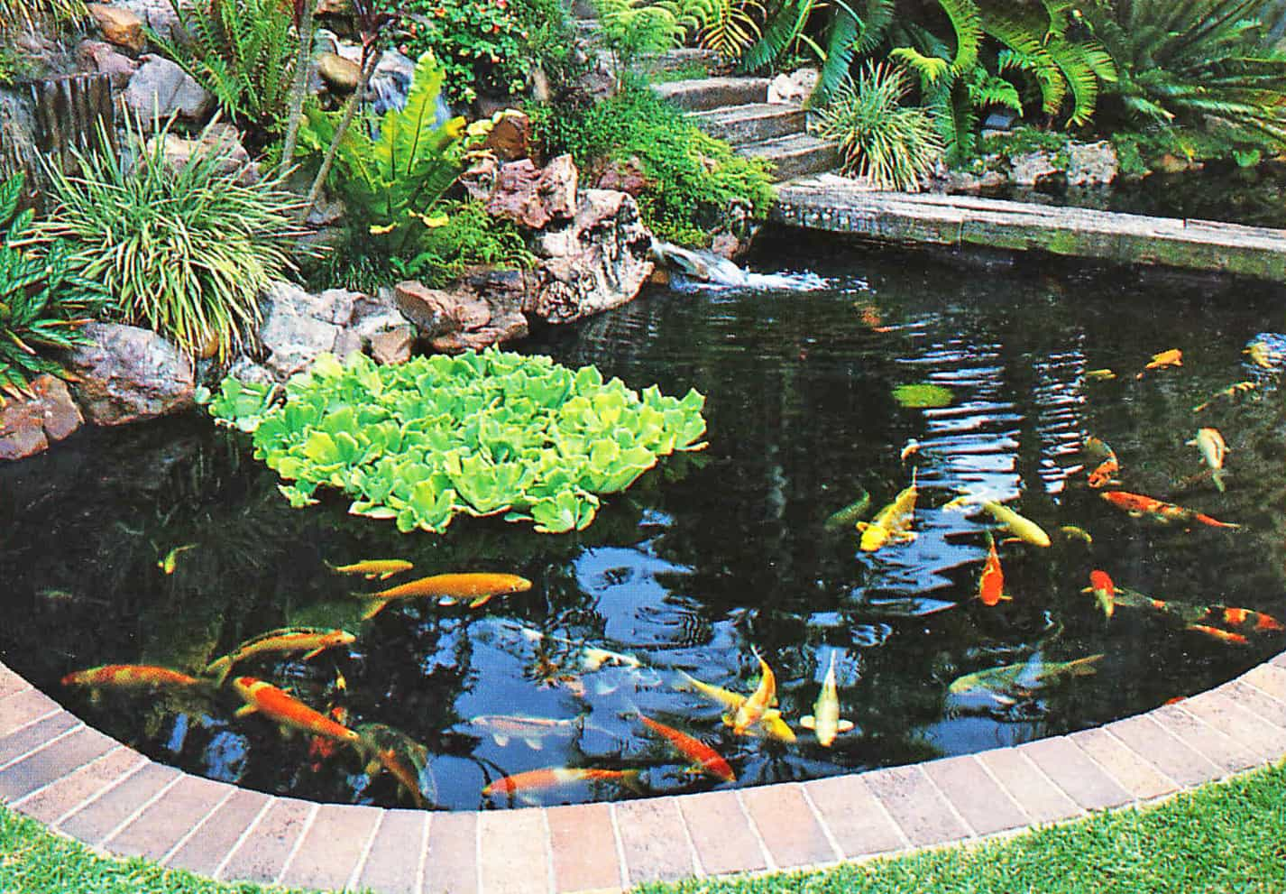 koi pond with water lettuce