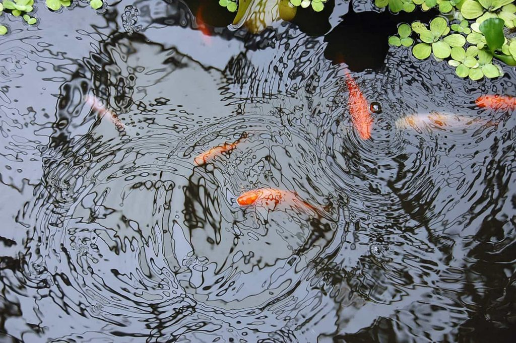 Koi in a cold pond