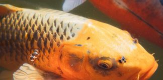 Prize winning koi for your step-by-step ponds